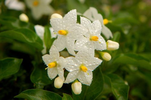 floare8