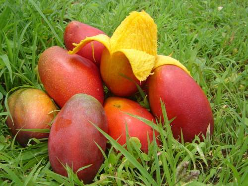 fructe-mango