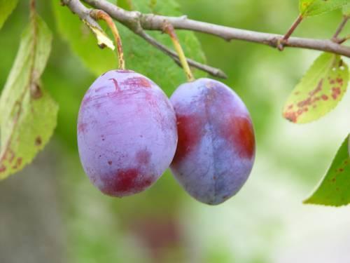 fructe-prune