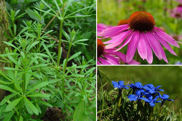 plante drenaj limfatic