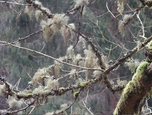 matreata-bradului