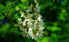 Floarea de salcam si puterile ei terapeutice