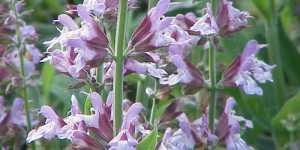Salvia, floarea Maicii Domnului