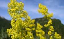 Sanziene galbene (Galium verum)