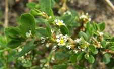 Troscot (Polygonum aviculare)