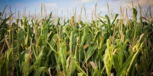 Alimente modificate genetic - Alimente iradiate