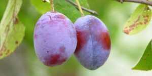 Sucul de prune
