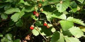 Plante salbatice comestibile