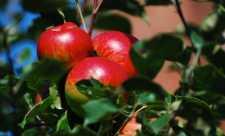 Medicamente necunoscute - Coaja fructelor