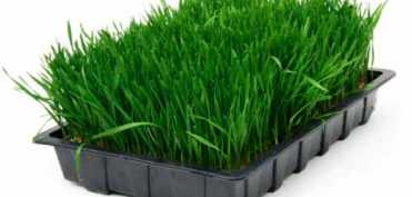 Cura cu suc  de grau verde