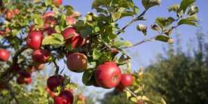 Efectele binefacatoare ale merelor