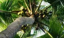 Numeroasele beneficii ale uleiului de cocos