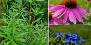 Plante medicinale care ajuta la detoxifierea sistemului limfatic