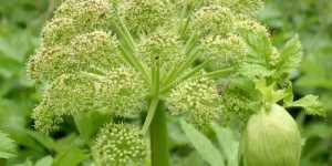 Luna Aprilie (Calendarul culegerii plantelor medicinale)