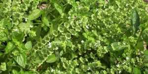 Busuiocul, o planta pentru trup si suflet