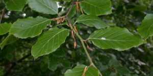 Fagul (Fagus sylvaticus)