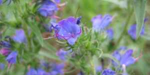 Iarba sarpelui (Echium vulgare)