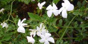 Iasomia - un remediu stravechi dar actual