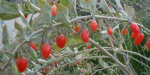 Lycium (goji) - un antioxidant natural de exceptie