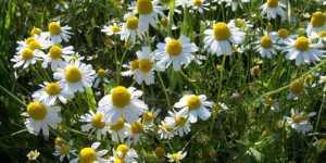 Medicina dacilor - Plante medicinale dacice