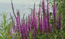 Rachitan (Lythrum salicaria)