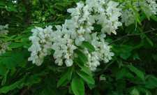 Plantele medicinale din bucataria bunicii
