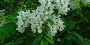 Florile de salcam, calmantul din farmacia naturii