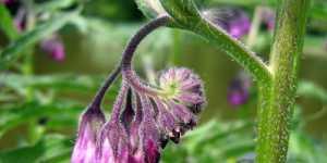 Tataneasa - Planta care vindeca 100 de boli