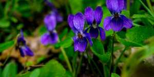 Toporasii - delicate remedii de primavara