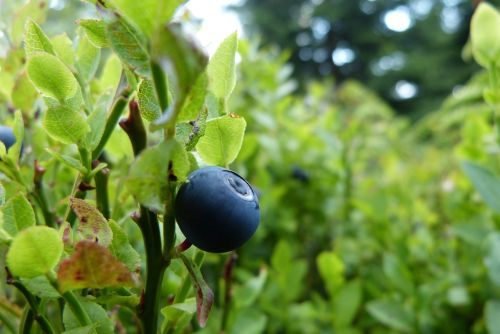5 plante pentru imbunatatirea vederii