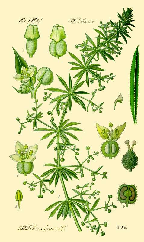 lipicioasa