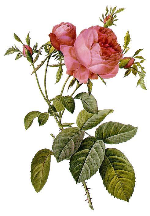 trandafir2
