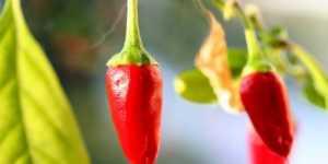 Chili pudra