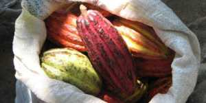 Dr. Calin Marginean - Paralela intre pudra de roscove si cacao