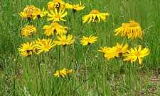 Arnica - planta care alina trupul si sufletul