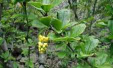 Dracila sau Lemnul galben (Berberis vulgaris)