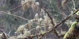 Matreata bradului (Usnea barbata)