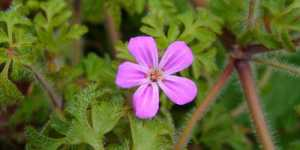 Plante de leac pentru infertilitatea feminina si masculina