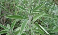 Plante care ajuta memoria - salvia si pelinul