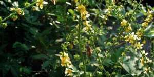 Turita mare (Agrimonia eupatoria)