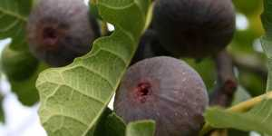 Beneficii ale smochinelor si frunzelor de smochin