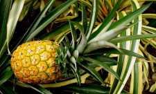 Ananasul, fruct exotic delicios