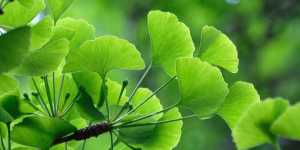 Ginkgo Biloba - un arbore de 40 de taleri?