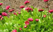 Luna Mai (Calendarul culegerii plantelor medicinale)