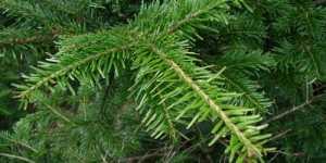 Luna Ianuarie (Calendarul culegerii plantelor medicinale)