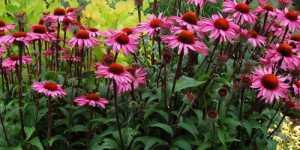 Echinacea - vaccinul antigripal natural