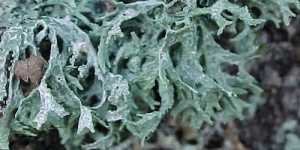 Lichenul de prun