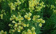 Linarita (Linaria vulgaris)