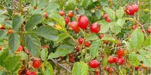 Macesele, tezaure de vitamine