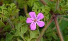 Napraznic (Geranium robertianum)